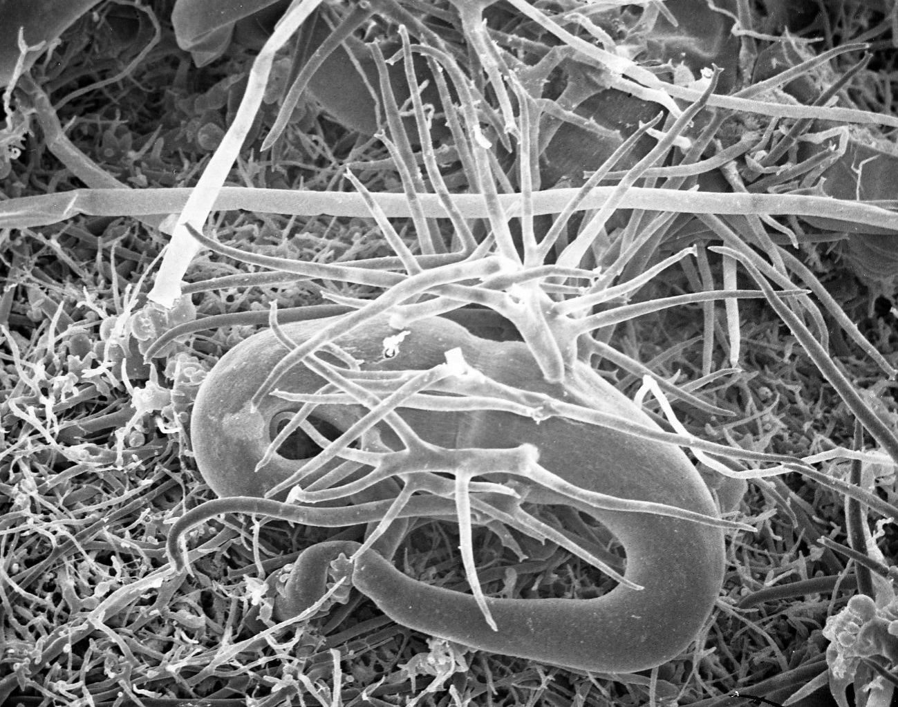 Image of <i>Phycomyces blakesleeanus</i> Burgeff 1925