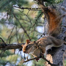 Image of American Red Squirrel
