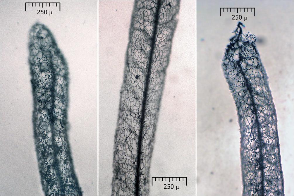 Image of <i>Stemonitis lignicola</i>