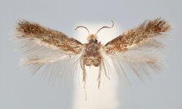 Image of <i>Nepticula dorsiguttella</i> Johansson 1971