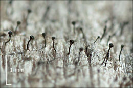 Image of spike lichen