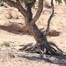 Image of <i>Eucalyptus coolabah</i> Blakely & Jacobs
