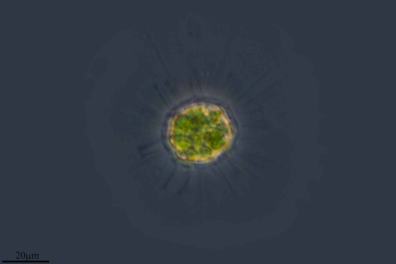 Image of <i>Acanthocystis pectinata</i>
