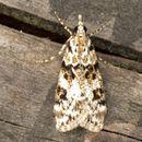 Image of <i>Eudonia delunella</i> Stainton 1849