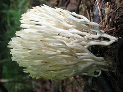 Image of <i>Ramariopsis kunzei</i> (Fr.) Corner 1950