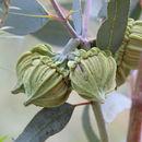 Image of <i>Eucalyptus youngiana</i> F. Müll.