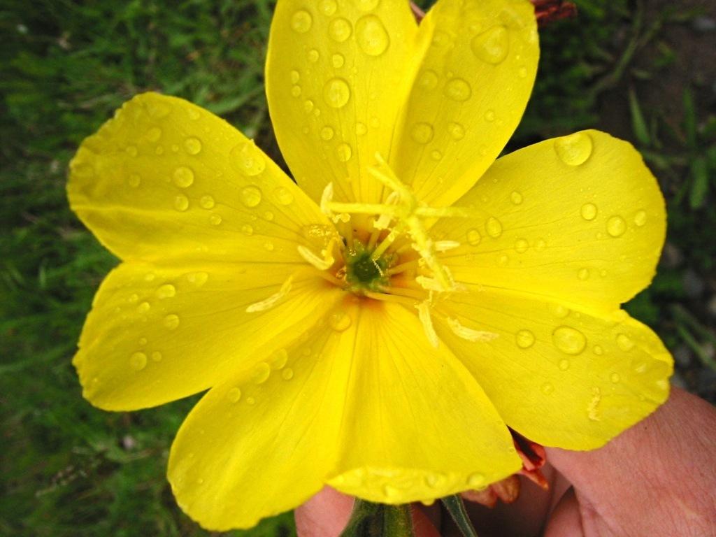 Image of Chilean evening primrose