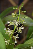 Image of <i>Encyclia vespa</i>