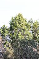 Image of Camphor Wood
