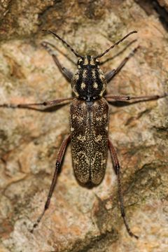 Image of <i>Xylotrechus rusticus</i>