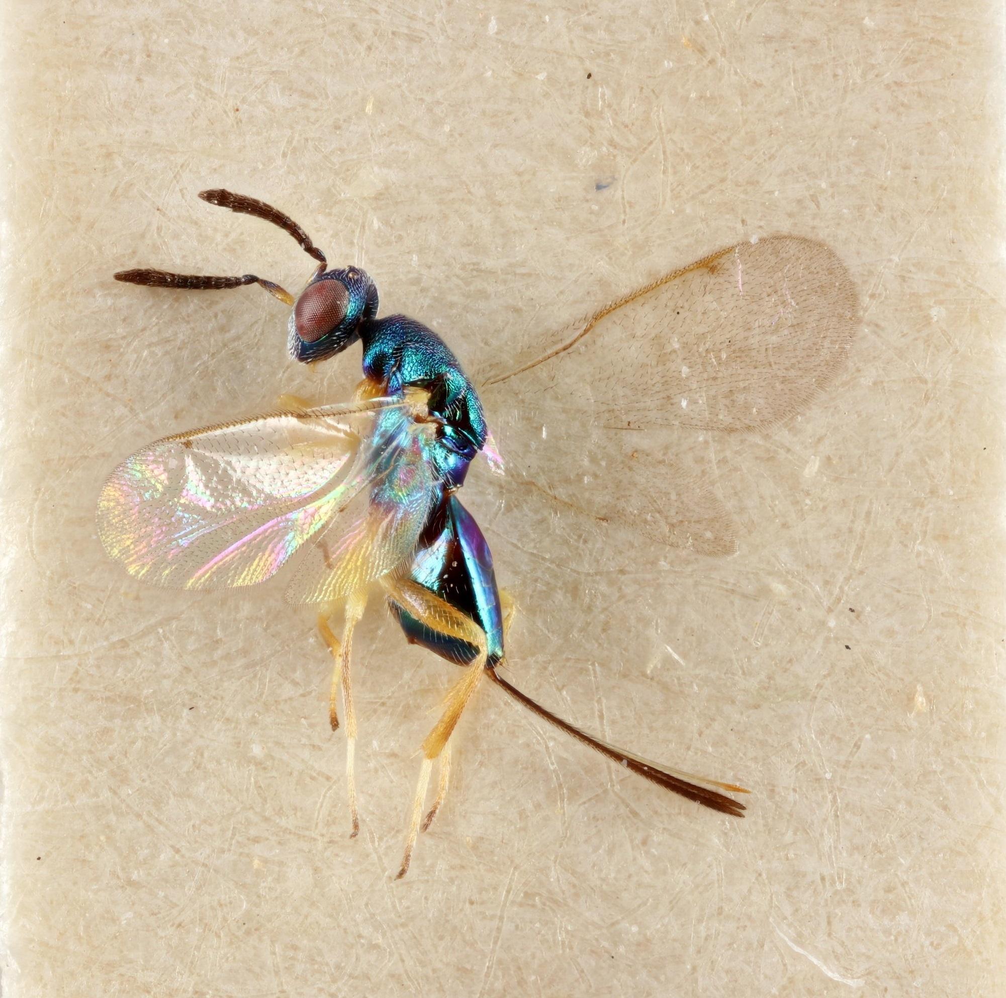 Image of <i>Torymus canariensis</i> Hedqvist 1977