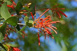 Image of <i>Psittacanthus calyculatus</i> (DC.) G. Don
