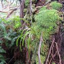 Image of flatfork fern