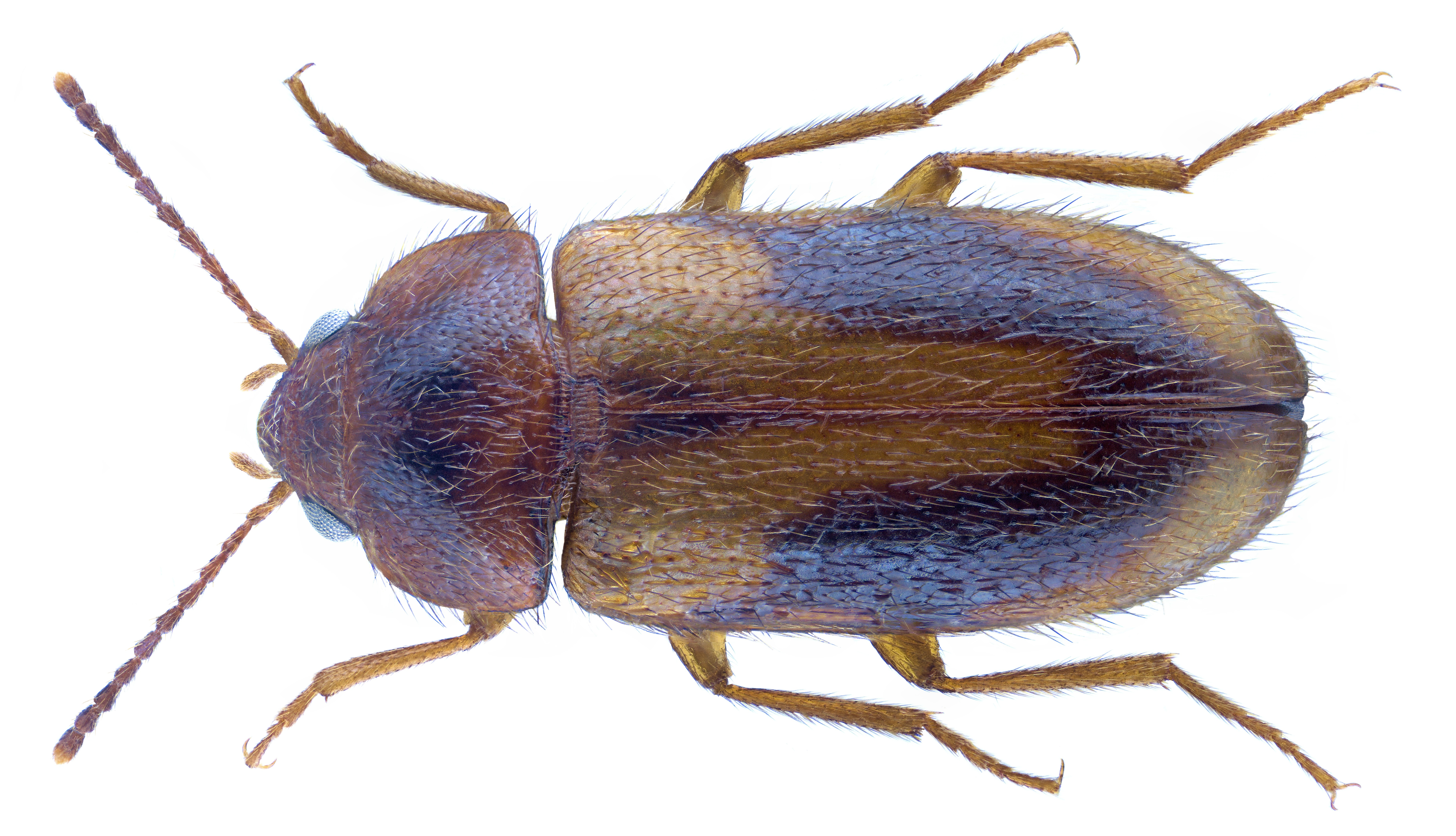 Image of <i>Eulagius filicornis</i> (Reitter 1887) Reitter 1887