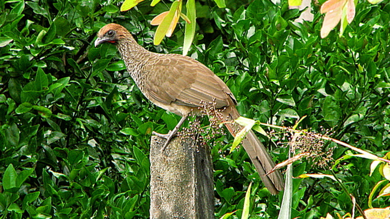 Image of Speckled Chachalaca