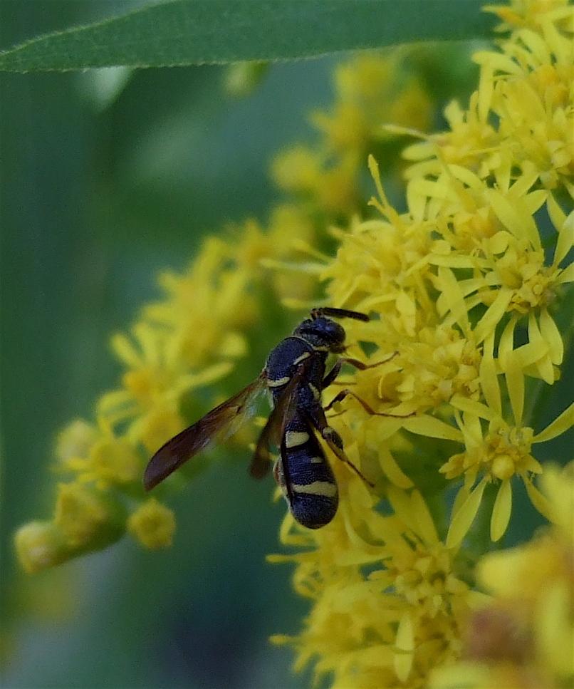 Image of Wasp