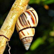 Image of lined treesnail