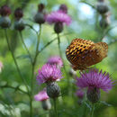 Image of Greater Fritillaries