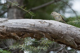 Image of Hutton's Vireo