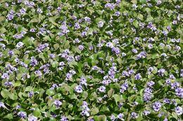 Image of anchored water hyacinth