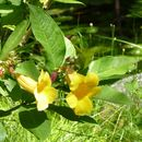 Image of bush allamanda