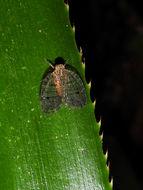 Image of <i>Biolleyana pictifrons</i> (Stal 1864)