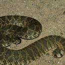 Image of Mohave Rattlesnake