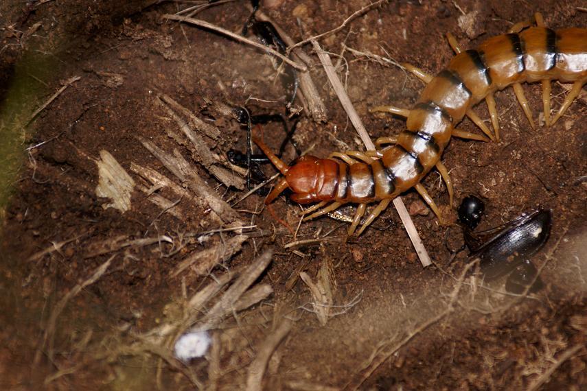 Image of Common Desert Centipede