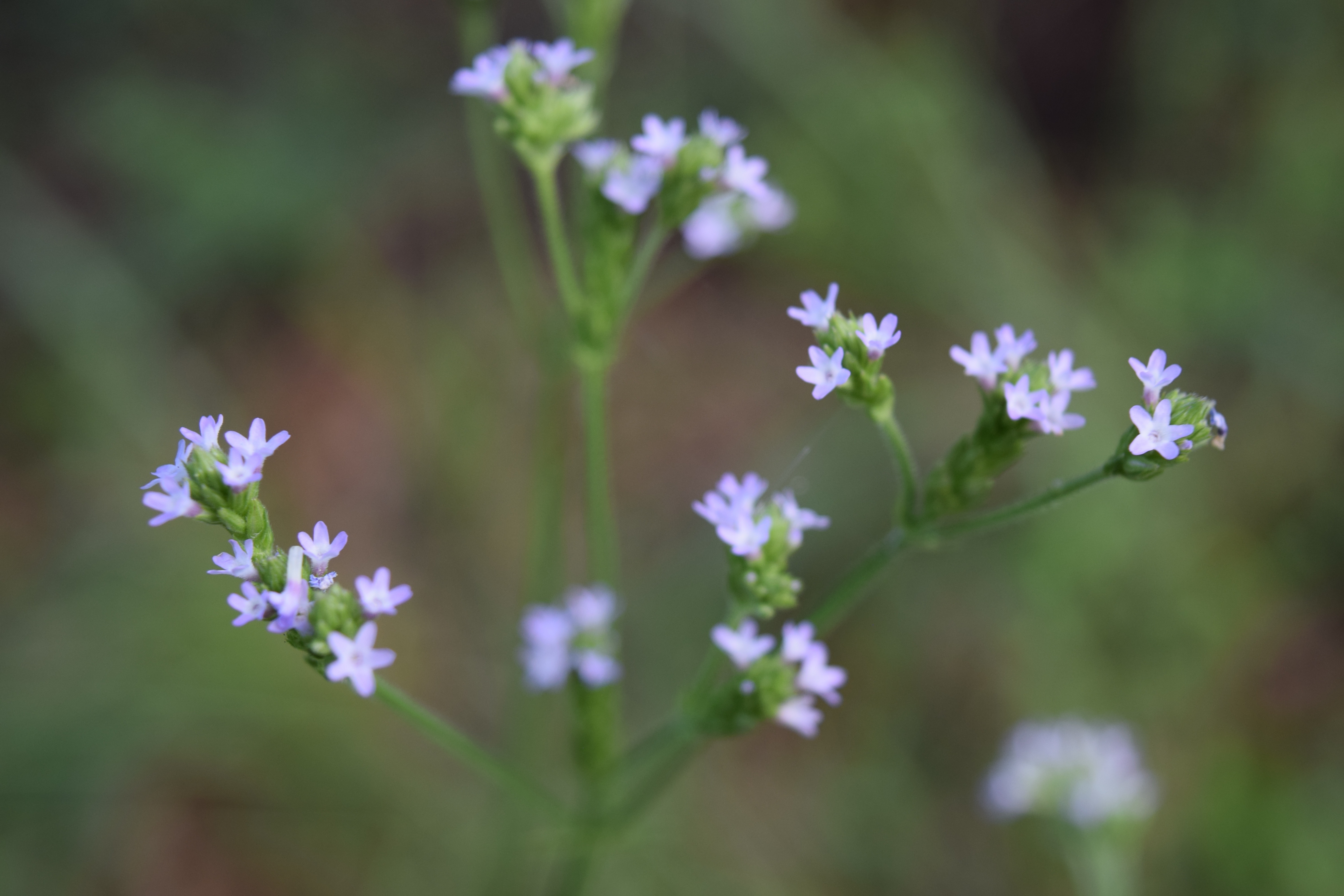 Image of Purpletop vervain