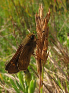 Image of Wandering Skipper