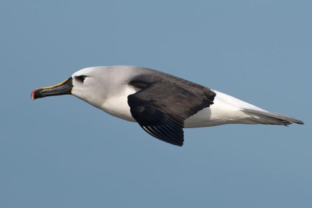 Image of Yellow-nosed Albatross