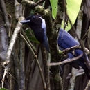 Image of Violaceous Jay