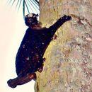 Image of Flying Lemur