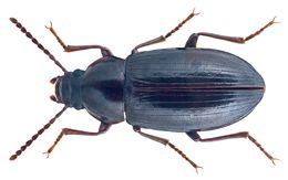 Image of <i>Nalassus faldermanni</i> (Faldermann 1837) Faldermann 1837