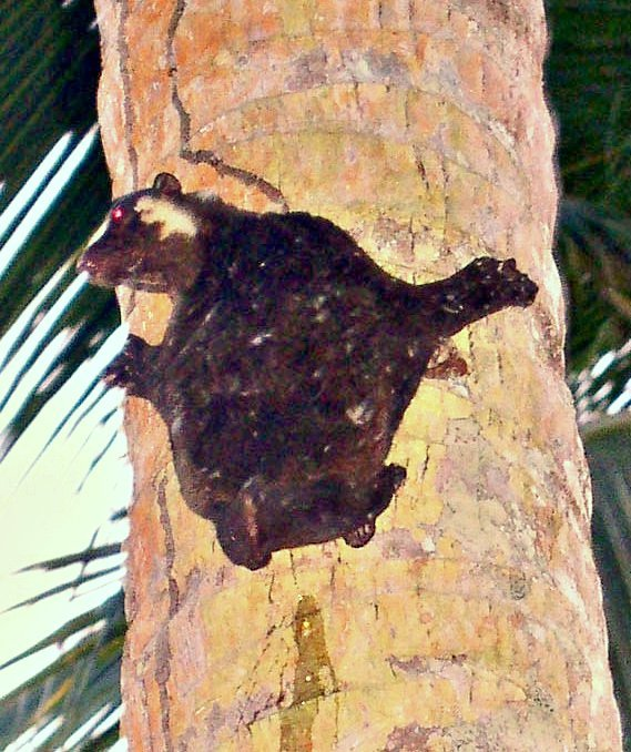 Image of Philippine Flying Lemur