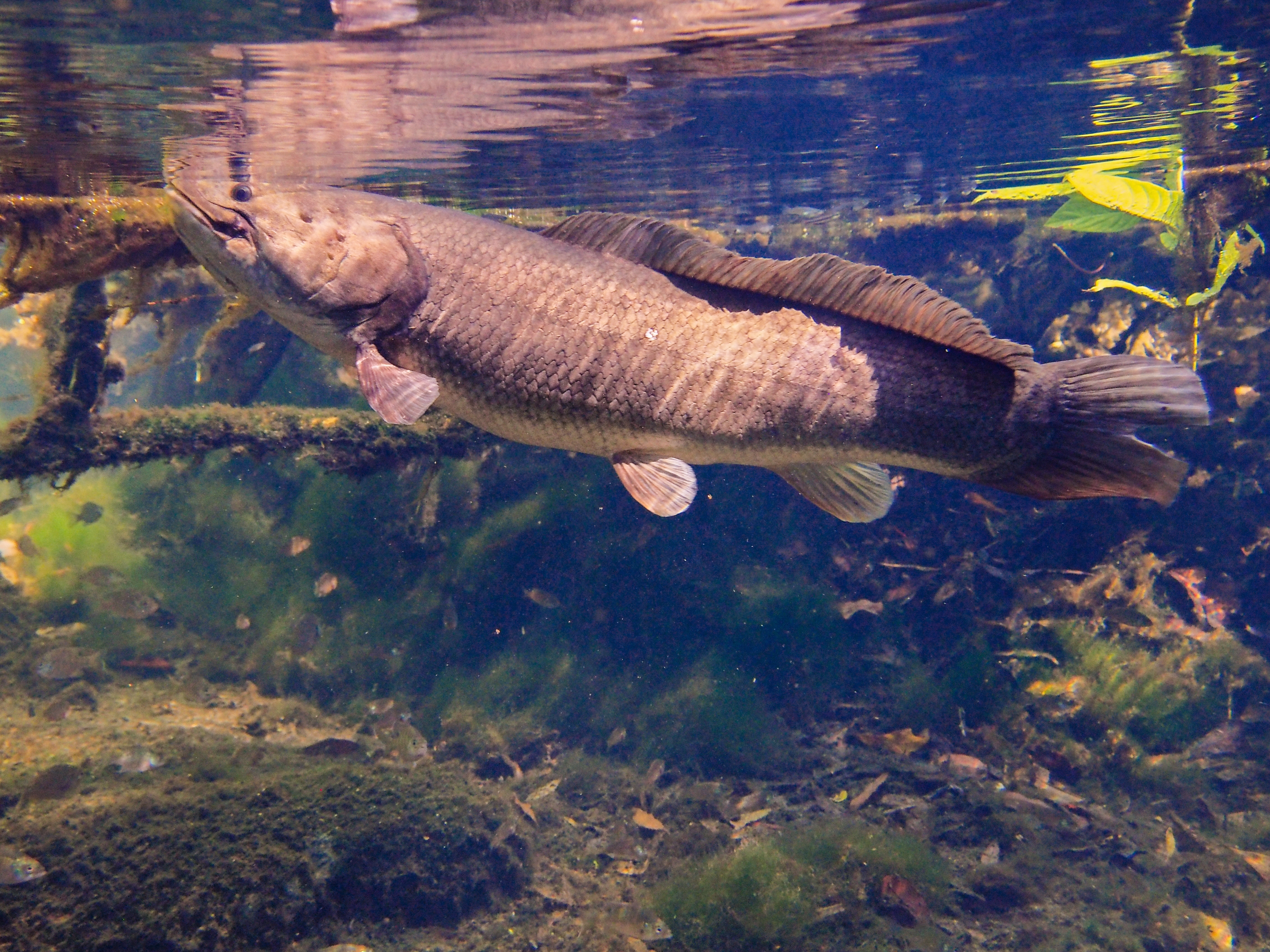 Image of Bowfin