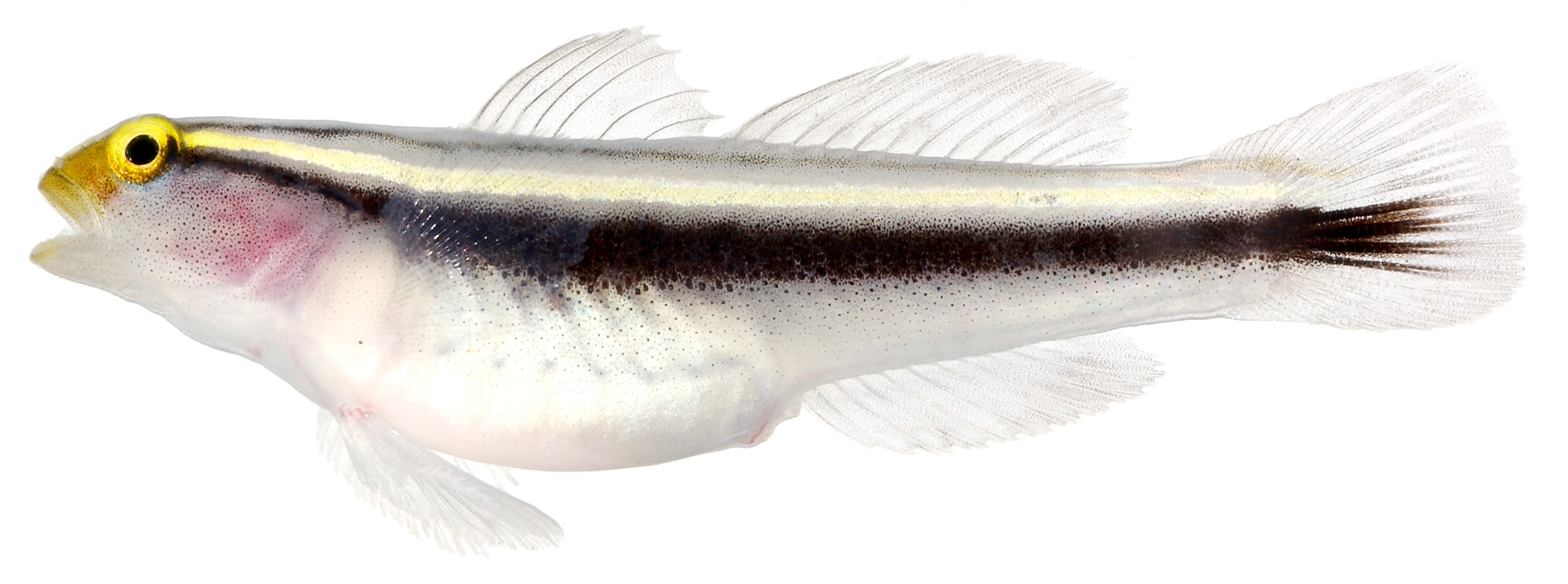Image of Yellowprow goby