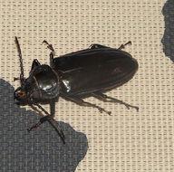 Image of <i>Mallodon dasystomus</i>
