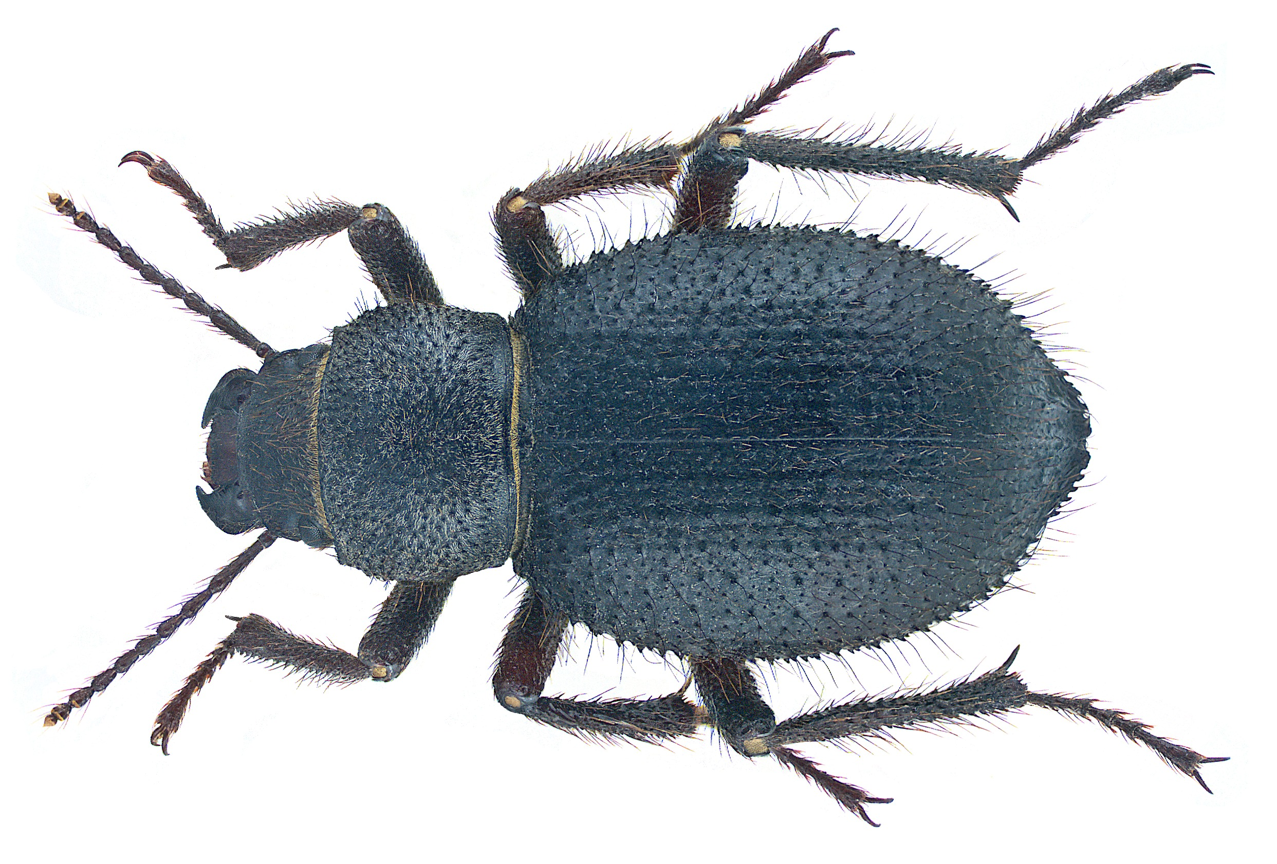 Image of <i>Trachyderma philistina</i> Reiche & Saulcy 1857