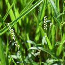 Image of Swamp Smartweed