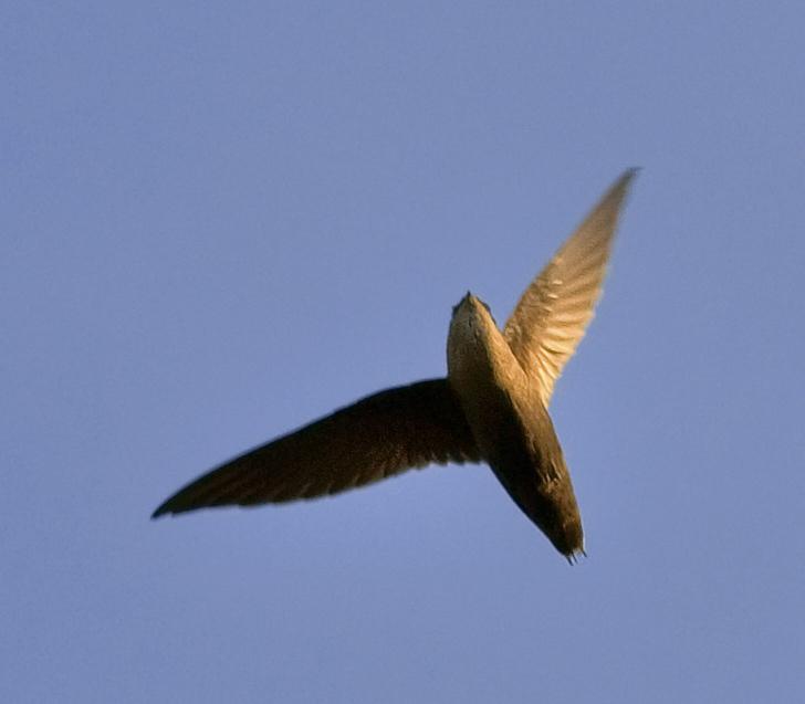 Image of Chiimney swift