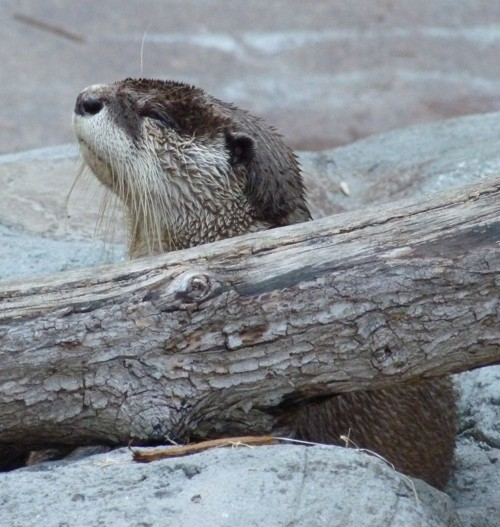Image of African Clawless Otter