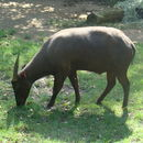 Image of Anoa
