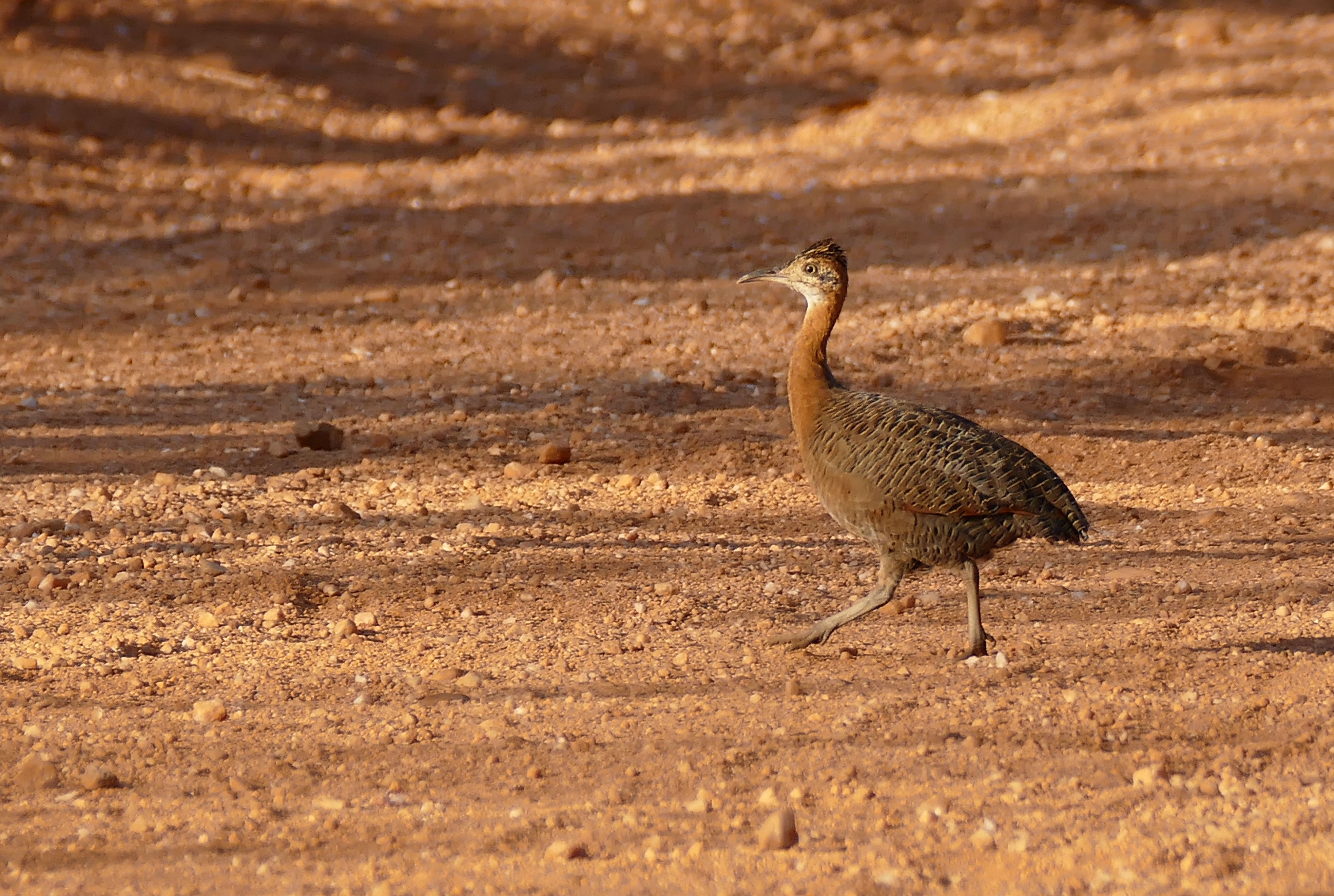 Image of Red-winged Tinamou