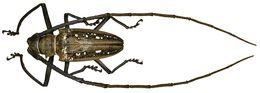 Image of Wallace's long-horn beetle