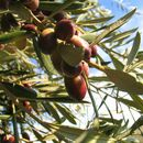 Image of olive tree