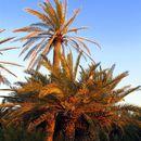 Image of Cretan Date Palm