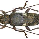 Image of <i>Parepilysta medioalbosignata</i>