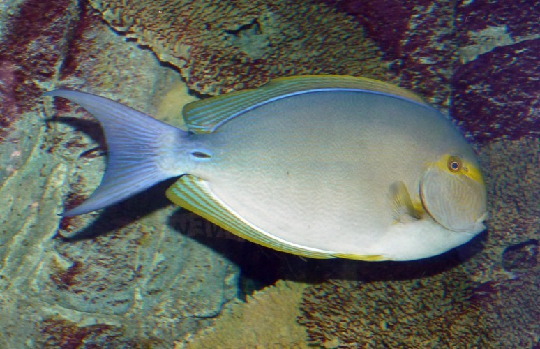 Image of Cuvier's Surgeonfish