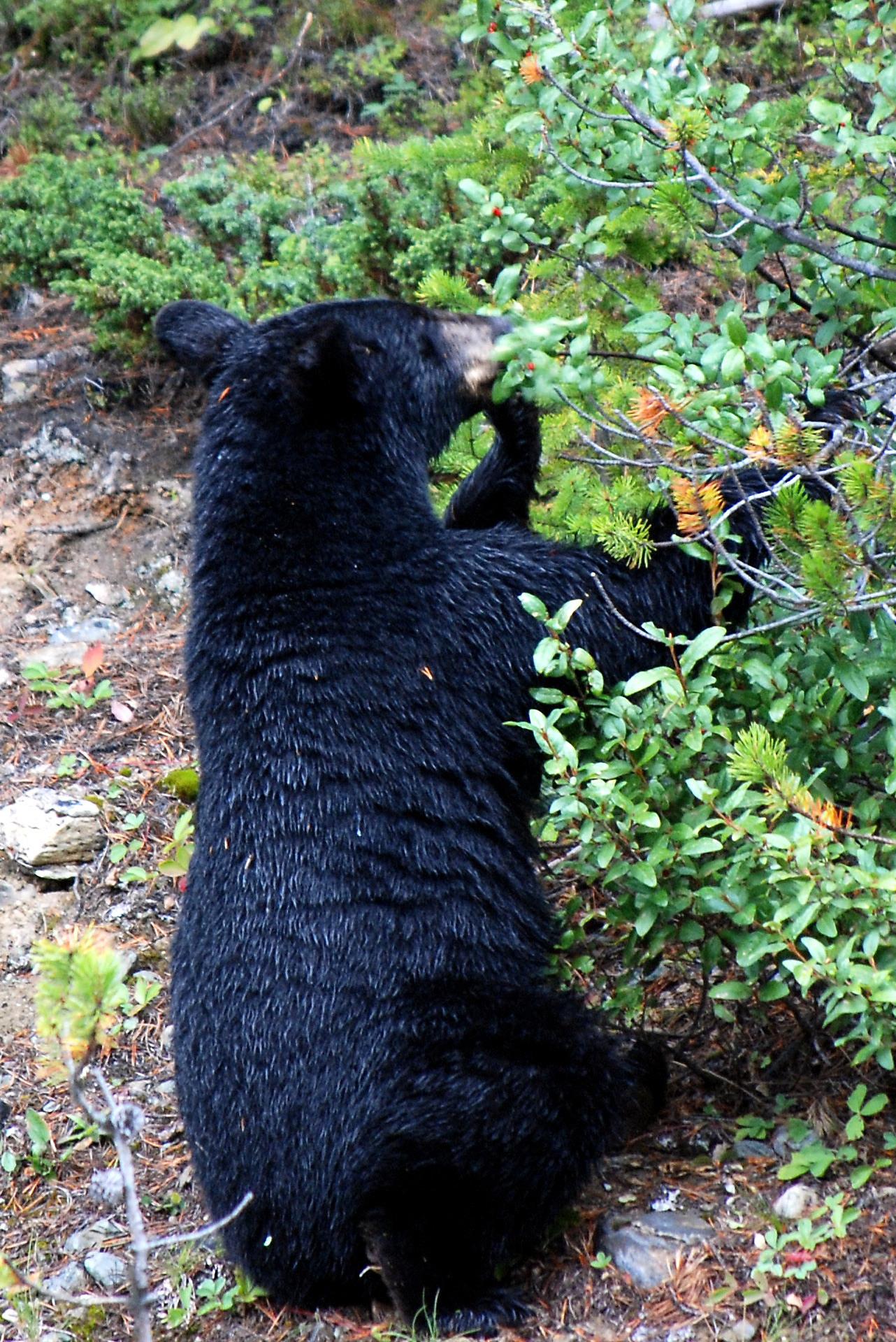 Image of American Black Bear